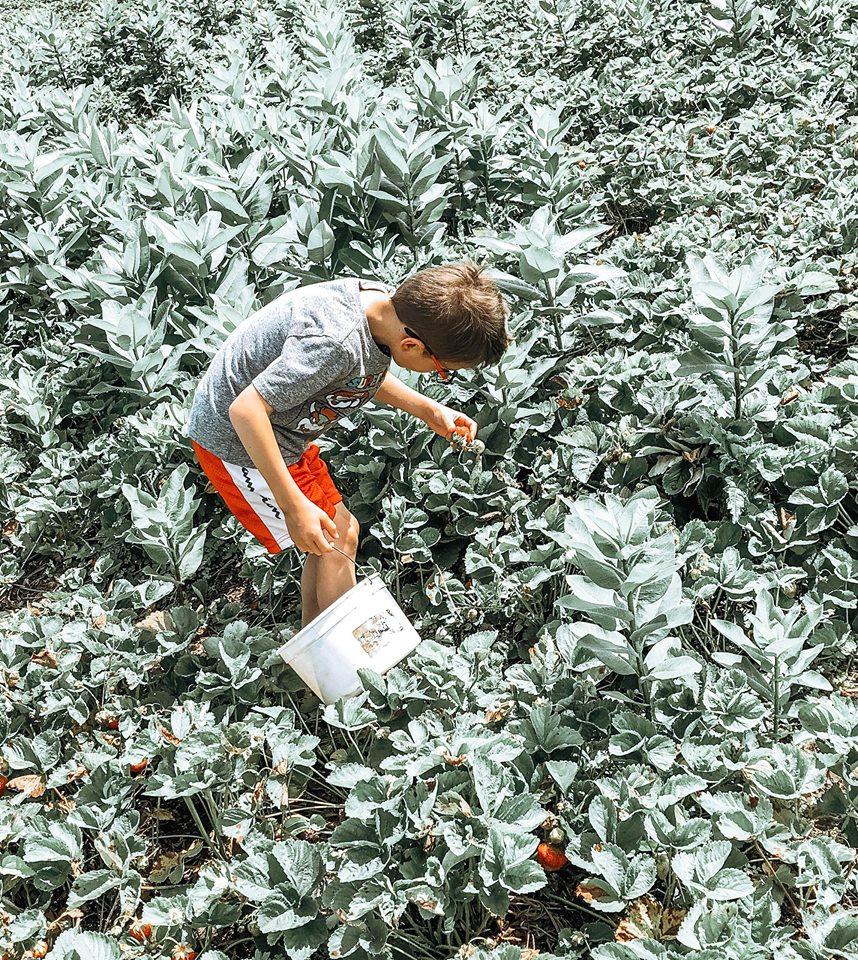 strawberry picking 4 - Copy